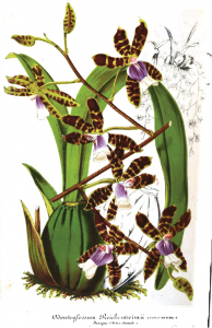 De begeerde orchidee.