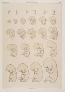 Eén van de invloedrijkste reeksen over menselijke embryologie uit de late negentiende eeuw was de Normentafel van de Duitse embryoloog Wilhelm His. (Wilhelm His, Anatomie menschlicher Embryonen Teil 3. Zur Geschichte der Organe, 1885.)